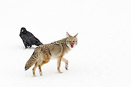 """In Native American lore, both the raven and the coyote are portrayed as cunning """"Tricksters"""" who disobey conventional rules and accepted behavior in favor of trickery and thievery."""