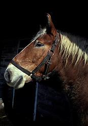 Donkey, mule.