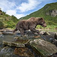 USA, Alaska, Katmai National Park, Remote camera view of Coastal Brown Bear (Ursus arctos) fishing for spawning salmon in stream along Kuliak Bay