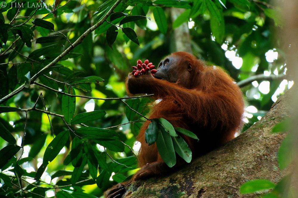 Adult female Bornean Orangutan (Pongo pygmaeus) eating fruits of Polyalthia sp.  Gunung Palung National Park, West Kalimantan, Indonesia.