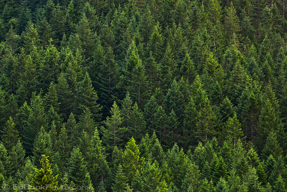 evergreen forest wallpaper