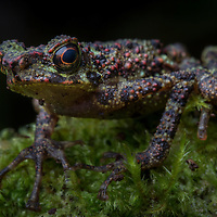 Bornean Rainbow Toad, Ansonia latidisca, rediscovered in the highlands of Sarawak in 2011 after 87 years without trace