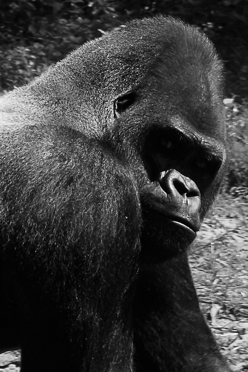 Black and white image of a Silver back Gorilla. This was the alpha male of the group.