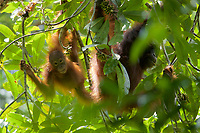 Bornean Orangutan - &quot;wurmbii&quot; subspecies<br />(Pongo pygmaeus wurmbii)<br /><br />Adult female &quot;Delly&quot; with young juvenile female &quot;Dewyck&quot; feeding on flowers of the Madhuca tree.<br /><br />Cabang Panti Research Station<br />Gunung Palung National Park<br />West Kalimantan, Indonesia<br />Borneo Island