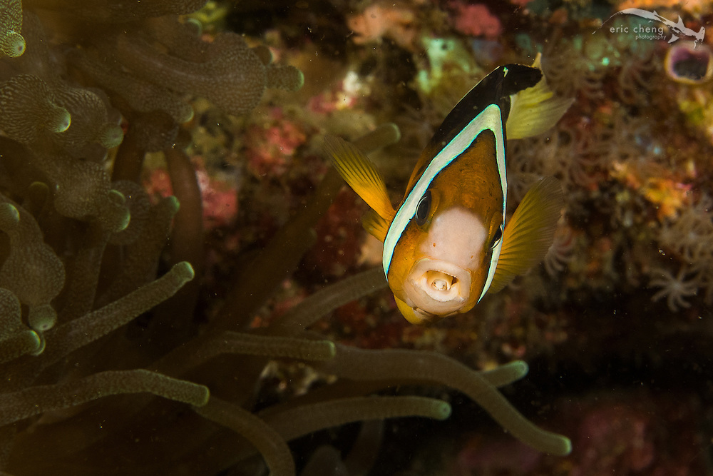 The tongue biter parasitic isopod (Cymothoa exigua) chews off an anemonefish's tongue and replaces it. You can see the smiling little face inside the mouth of this poor anemonefish. Cannibal Rock, Komodo, Indonesia.
