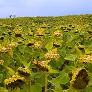A field of Sunflowers growing in western Wisconsin. ..