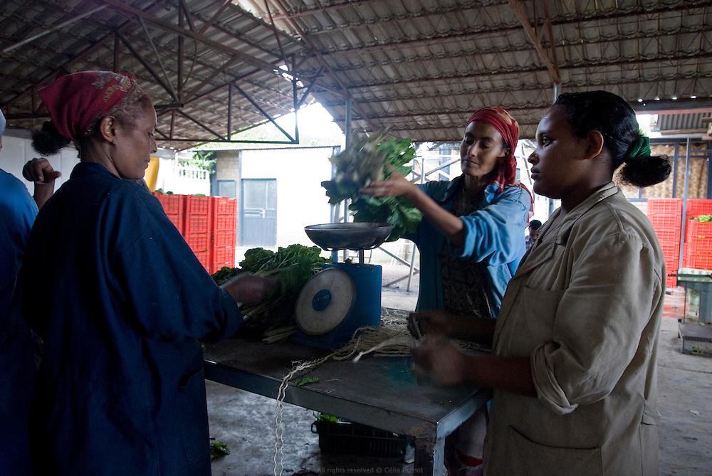 En Éthiopie depuis 20 ans, l'agriculteur hollandais Gert Van Putten installé à une heure au sud d'Addis Abeba, emploie près de 600 éthiopiens. Ses activités principales sont l'élevage de bétail et de poules, la production d'oeufs, d'aubergines, de salades, d'oignons, d'alfalfa etc. L'eau qu'il utilise provient du Lac Ziway et de puits creusés sur ses terres. Ici préparation de produits maraîchers récoltes le jour même et destinés au supermarché de la ferme. Éthiopie août 2011.