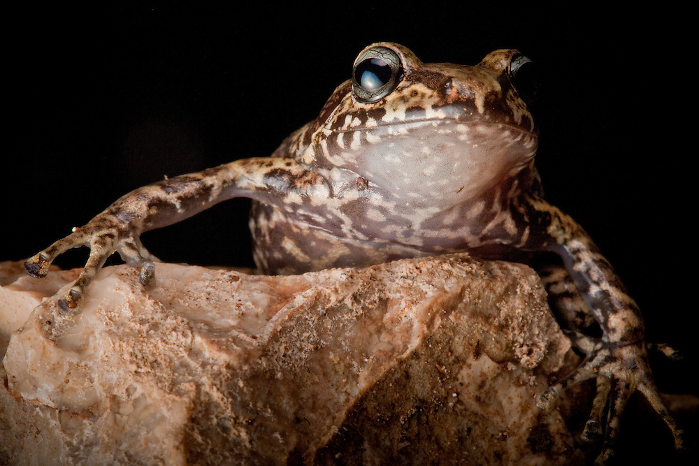 La Hotte Glanded Frog, Eleutherodactylus glandulifer, a critically endangered species on the Massif de la Hotte, Haiti. Last seen 1991.