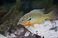 Redbreast Sunfish<br /> <br /> Isaac Szabo/Engbretson Underwater Photo