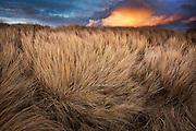 Huge cumulonimbus clouds catch the evening sunset above wind-blown Marram grass covering sand dunes at Llanddwyn Beach, West Anglesey