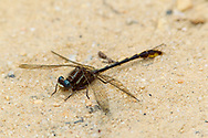 Lancet Clubtail (Gomphus exilis) - male<br /> SOUTH CAROLINA: Chesterfield Co.<br /> Cheraw State Park; Cheraw<br /> 6.May.2012  <br /> J.C. Abbott #2589
