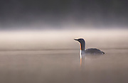Red throated diver (Gavia stellata) silhouetted in dawn mist on mirror calm forest lochan, Cairngorms National Park, Scotland.