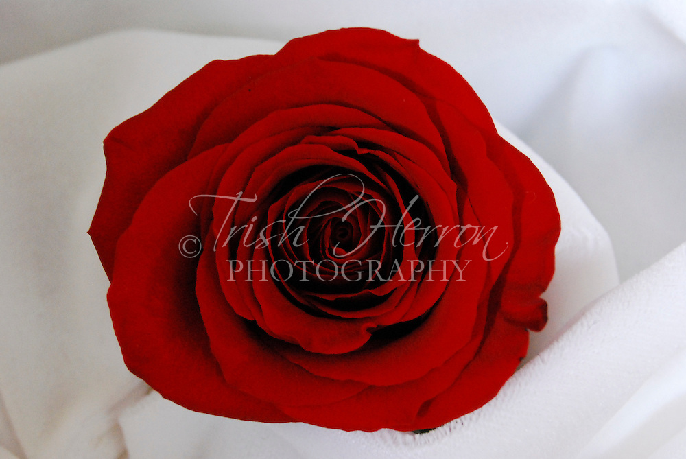 A single red rose is surrounded by folds of white velvet.