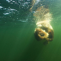 Canada, Manitoba, Churchill, Underwater view of adult male Polar Bear (Ursus maritimus) swimming in Hudson Bay on summer afternoon