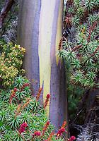 Alpine Yellow Gum (Eucalyptus subcrenulata) and flowering Scoparia (Richea scoparia), Tasmania, Australia
