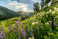 Hills covered in lupine and yellow balsomroot wildflowers are a spectacular sight to see in Utah's Albion Basin in the Wasatch Mountains. They provide an ideal landscape photography opportunity and a perfect scene for a corporate interior or hospital print.