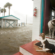 Hoochie, a beagle, (C) howls with on the steps of a cottage as Jake the dog stands in the doorway at the Faraway Inn in Cedar Key, Florida as the surge from Tropical Storm Alberto surrounds them June13, 2006. The dogs were riding out he surge with their owner who was vacationing in Cedar Key. REUTERS/Scott Audette