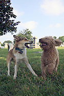 Two dogs enjoy an afternoon in the Congressional Cemetery. They are best friends.