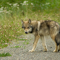 Wolf pups in Nilkitkwa near Fort Babine, BC