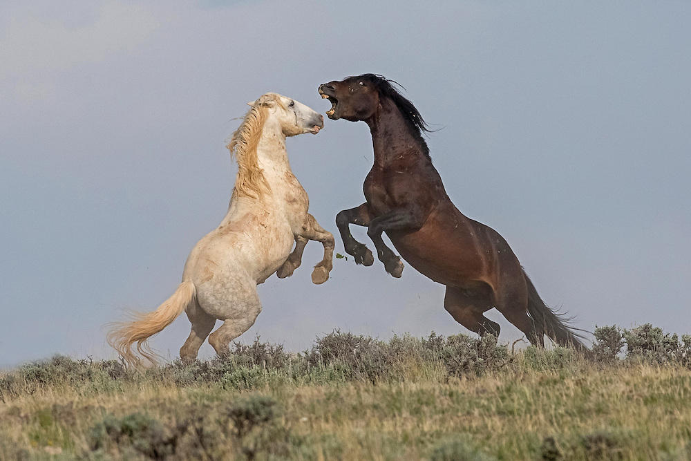 The grey stallion, Running Bear, takes on a fiery bachelor intent on stealing his band. These minor skirmishes occur almost continually among stallions, who must always keep their eyes open for marauding bachelors.