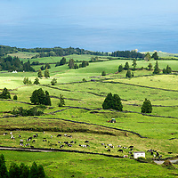 Europe, Portugal, Azores. Cows and pastural landscape of Ponta Delgada, Azores.