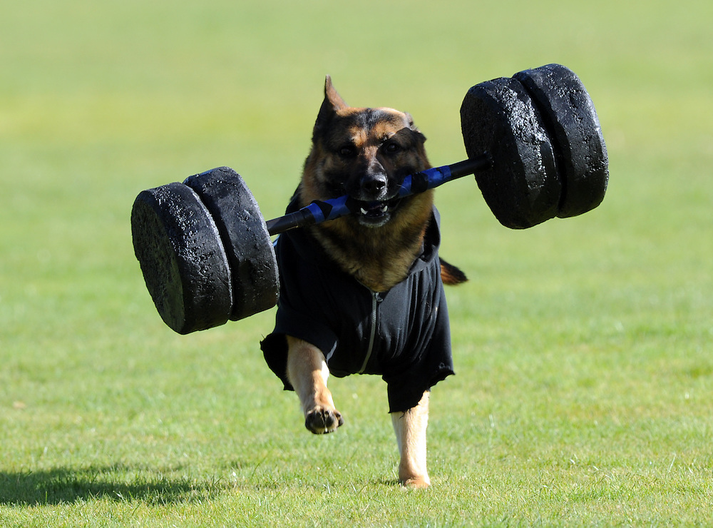 Police dogs join the AOS (Armed Offenders Squad) take part in a public display to celebrate 50 years of the AOS at the Royal Polce College, Porirua, New Zealand, Saturday, August 09, 2014. Credit:SNPA / Ross Setford