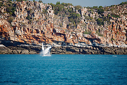 A female humpback whale breaches against the cliffs at Wilson Point on the Kimberley coast.