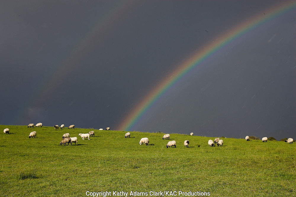 Black-faced mountain sheep, with a double rainbow overhead, County Mayo, Ireland.