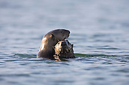 California Sea Otter (Enhydra lutris) and pup at water level - Elkhorn Slough, California