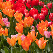 A variety of tulips, red, pink and orange, bloom together in a tight cluster at Roozengaarde, one of the largest tulip gardens in the Skagit Valley of Washington state. It is part of 300 acres of tulip fields near the city of Mount Vernon. A million people attend the annual tulip festival there.