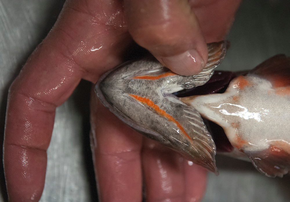 The red or orange marks under the gills of the Rio Grande cutthroat trout that give them their name. Photo shot at the Seven Springs Fish Hatchery in the Jemez Mountains, Thursday, Oct. 16, 2014. (Eddie Moore/Albuquerque Journal)
