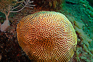 Grooved Brain Coral on Starboard Side, Doc Paulson, Grand Cayman