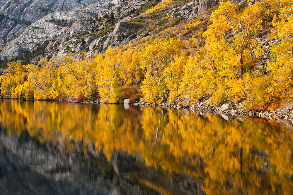 Fall foliage in the Eastern Sierra mountains in California. Bright yellow Aspen trees reflecting in a small lake near Mammoth in the post dawn hours