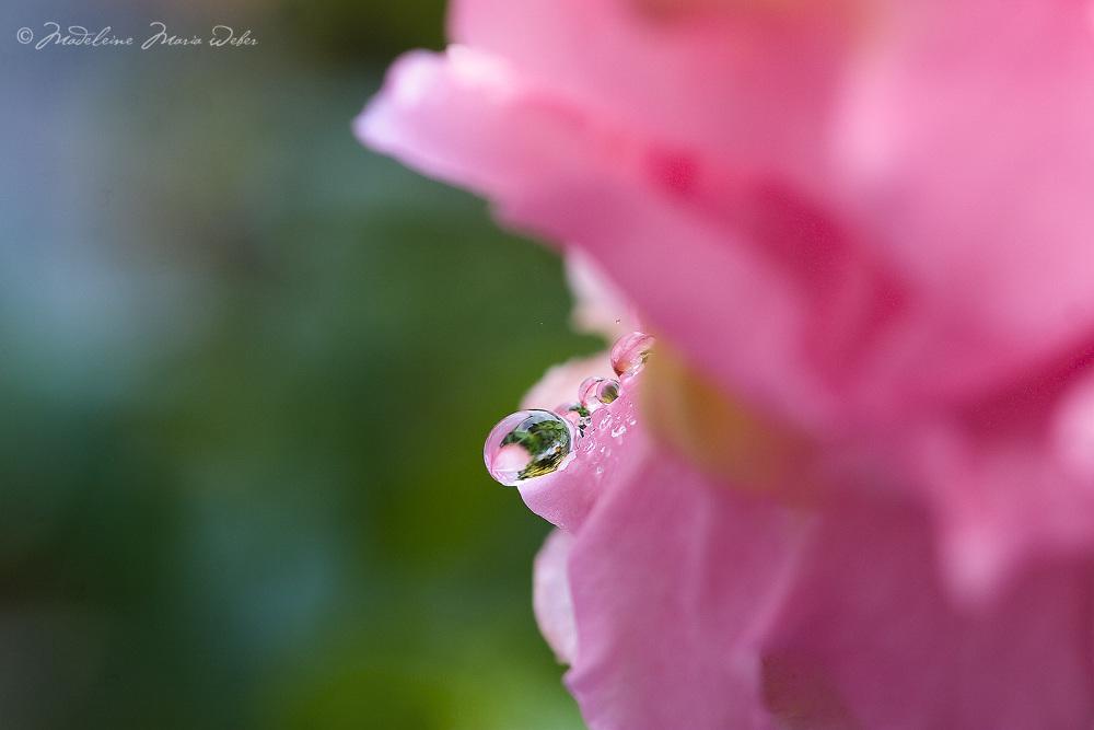Rain drop on rose petal / dr002