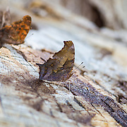 Question Mark; Polygonia interrogationis;  butterfly perched on stump in Marathon, Texas in west Texas in summer.