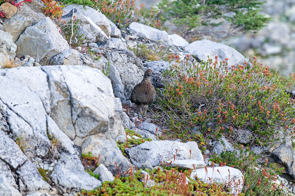 A Sooty Grouse (Dendragapus fuliginosus) in the Mount Baker-Snoqualmie National Forest in Washington State, USA