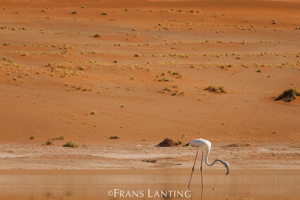 Greater flamingo, Phoenicopterus roseus, Namib-Naukluft National Park, Namibia