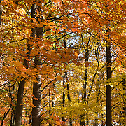 Fall foliage turns orange and yellow from a variety of deciduous trees in Hanging Rock State Park, Stokes County, North Carolina, USA.