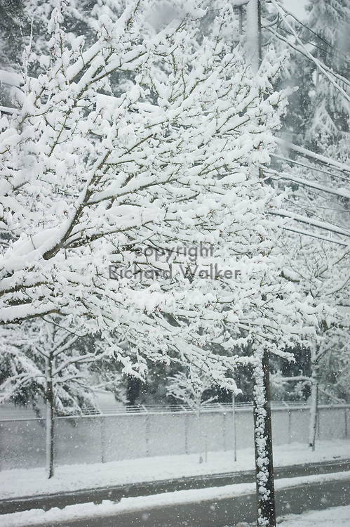 2017 FEBRUARY 06 - Trees covered in snow in a West Seattle neighborhood, Seattle, WA, USA. By Richard Walker