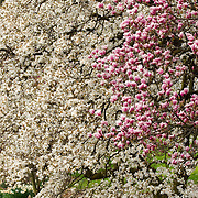 Magnolia and Dogwood Trees