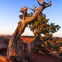 The moon sets at sunrise behind a gnarled pine tree in the desert highlands of Canyonlands National Park, Utah.