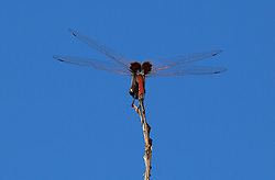 A dragonfly rests on a twig at Gantheume Point in Broome, Western Australia.