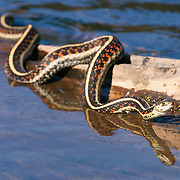 A common garter snake (Thamnophis sirtalis) slithers across a log on Lodge Lake near Snoqualmie Pass, Washington.