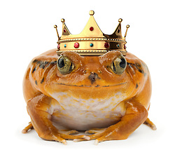 Orange frog facing with a crown the camera on a white background
