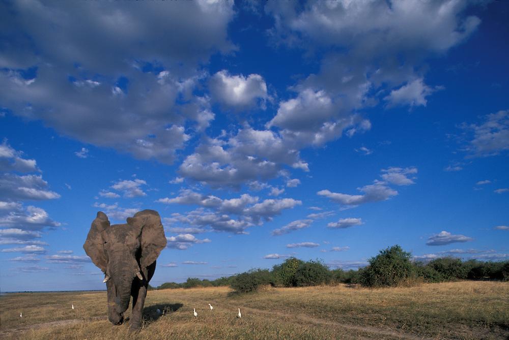 Botswana, Chobe National Park, Charging Elephant (Loxodonta africana) along banks of Chobe River
