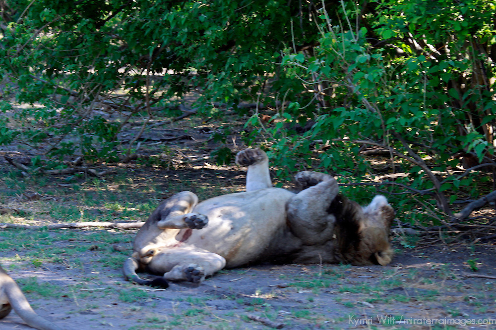 Africa, Botswana, Savute. Lion lazing on back in Savute.