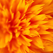 """SHOT 10/23/2007 - Closup of a Teddy Bear Sunflower for sale at a flower stand in San Francisco, Ca. Loads of bright orange multi-petaled chrysanthemum-type blooms. Dwarf sturdy plants are upright, growing about 3 feet tall. Teddy Bear is nice for cutting but equally nice for a colourful garden border. The sunflower (Helianthus annuus) is an annual plant native to the Americas in the family Asteraceae, with a large flowering head (inflorescence). The stem of the flower can grow as high as 3 metres tall, with the flower head reaching up to 30 cm in diameter with the """"large"""" seeds. The City and County of San Francisco is the fourth most populous city in California and the fourteenth-most populous in the United States. San Francisco is a popular international tourist destination renowned for its steep rolling hills, an eclectic mix of Victorian and modern architecture, its large LGBT (lesbian, gay, bisexual, and transgender) population, and its chilly summer fog and mild winters. Famous landmarks include Union Square, Pacific Heights, Russian Hill, Fisherman's Wharf, North Beach and Chinatown..(Photo by Marc Piscotty © 2007)"""