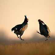 "In hopes of attracting females, two male greater prairie chickens participate in an elaborate courtship display.  Their displays consist of expanding the air sacs on the sides of their necks, drumming their feet in stylized dances, snapping their tails and make a booming call that can be heard for over a mile.  These mating rituals occur on elevated, grazed areas in grasslands known as ""leks"" or ""booming grounds.""  Once inhabiting the wide plains of the central United States, the greater prairie chicken has fared poorly as its grassland habitat has been converted to other uses.Burchard Lake Wildlife Management Area, Pawnee County, Nebraska."