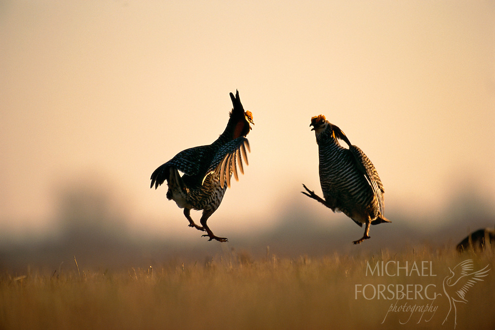 """In hopes of attracting females, two male greater prairie chickens participate in an elaborate courtship display.  Their displays consist of expanding the air sacs on the sides of their necks, drumming their feet in stylized dances, snapping their tails and make a booming call that can be heard for over a mile.  These mating rituals occur on elevated, grazed areas in grasslands known as """"leks"""" or """"booming grounds.""""  Once inhabiting the wide plains of the central United States, the greater prairie chicken has fared poorly as its grassland habitat has been converted to other uses.Burchard Lake Wildlife Management Area, Pawnee County, Nebraska."""