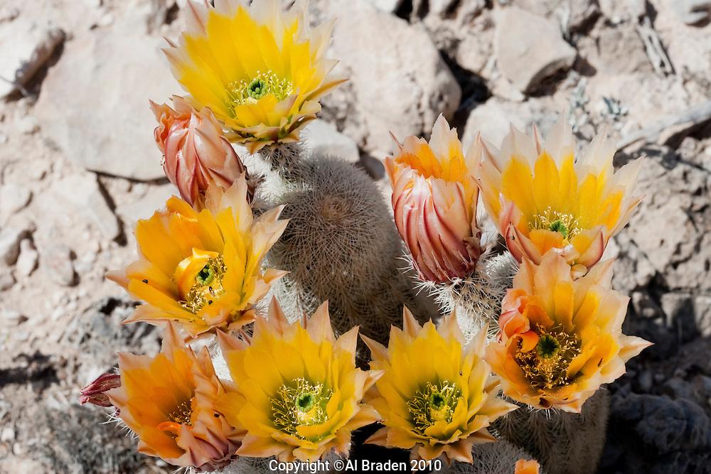 Texas Rainbow Cactus at Big Bend National Park, Texas. (Echinocereus pectinatus).